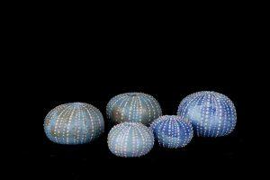 galerij-dier-zeeegels-9057